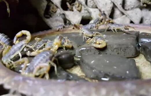 塑料大棚蝎子养殖基地视频(实拍)!