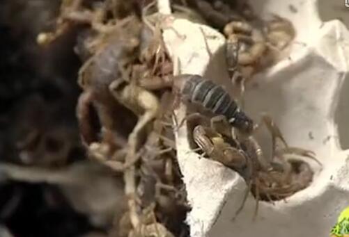 苏之勇蝎子养殖视频教你学养蝎子