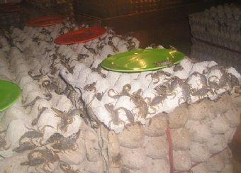 家庭人工蝎子养殖技术大全