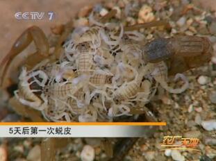 CCTV7农广天地蝎子养殖技术视频在线观看